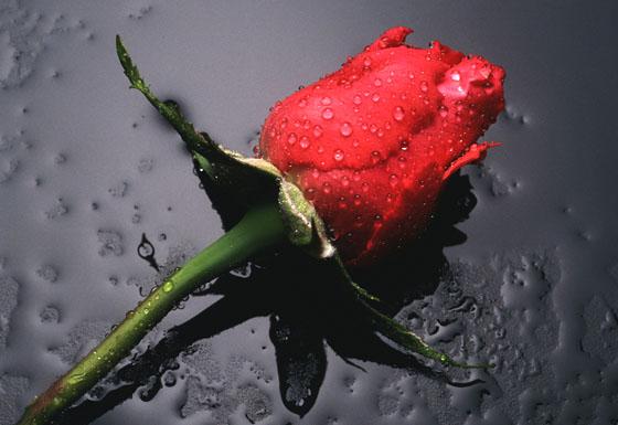 uitvaart rotterdam Uitvaart Rotterdam roos